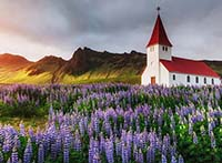 iceland visit lupins