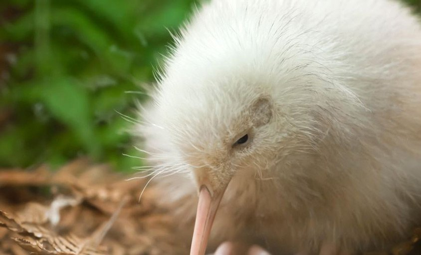 Manukura the White Kiwi