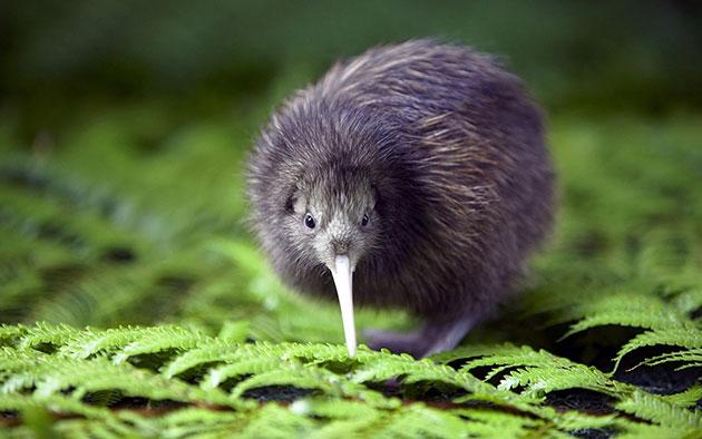 The Kiwi Bird 8bf44da8aff0