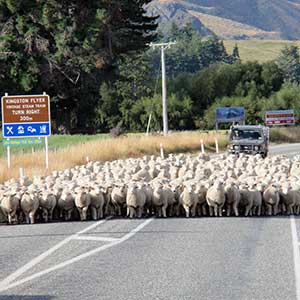NZ Travel Guide: Sheep crossing the road
