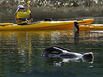 New Zealand wildlife seal and kayaking