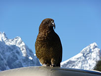 Kea NZ wildlife tours
