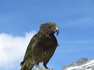 Mount Cook Kea
