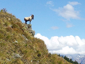 Billy Goat in the New Zealand Backcountry
