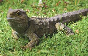 Tuatara Lizard NZ