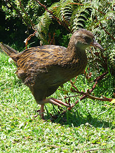 Weka (Gallirallus australis), a flightless rail